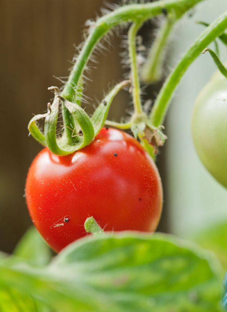 kasvihuoneessa kasvatettu tomaatti